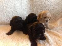 AKC American Cocker Spaniel puppies. 2 black females. 1