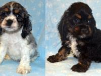 QUALITY!!! Cocker Spaniel Puppies. Pups were born upon