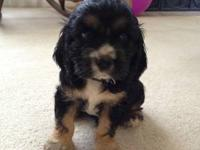 Hello, I have one Cocker Spaniel puppy left for sale.I