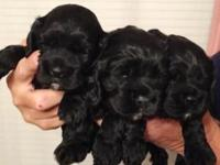 1 female cocker spaniel puppy available. 8 weeks old as