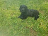 Special AKC black male Cocker Spaniel. Dew claws