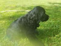 Special AKC Black male Cocker Spaniel. Tail docked,