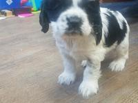 AKC black and white parti female. She will be ready to