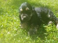 AKC black and tan female Cocker Spaniel. Tail docked,