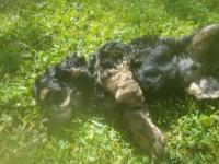 AKC black and tan Cocker Spaniel. Tail docked,breed for
