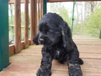 AKC black male Cocker Spaniel, tail docked, due claws