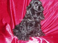 AKC Cocker Spaniel puppy. This adorable puppy is solid