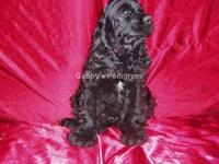 AKC Cocker Spaniel puppy. This adorable puppy is black