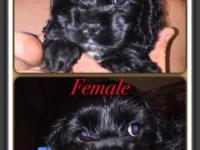 I have 2 cocker spaniels $275 1 female 1 males puppies