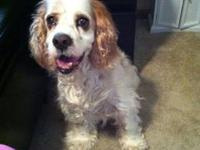 Cocker Spaniel - Rocket - Urgent - Small - Senior -