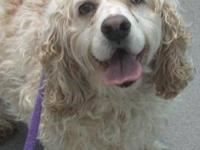 Cocker Spaniel - Rufus - Medium - Adult - Male - Dog