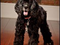 Cocker Spaniel - Sasha - Small - Senior - Female - Dog