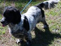 Cocker Spaniel - Skipper - Medium - Adult - Male - Dog