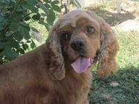 Cocker Spaniel - Theodore - Medium - Adult - Male -