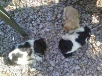 Cocker Spaniel Puppies for sale: they are all girls