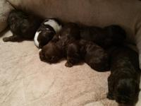 We have a new litter of Cocker Spaniel puppies for