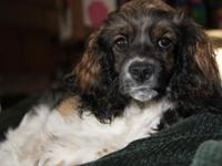 LAST ONE!!! Male Cocker and Springer Spaniel Mix puppy