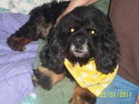 Cocker Spaniel - Drewpy - Medium - Adult - Male - Dog
