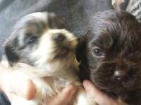 Adorable chocolate & tan female, very sweet, ready for