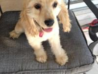 4 month old female AKC Cocker Spaniel. Very sweet and