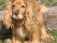Cocker Spaniel - Sunny - Small - Adult - Male - Dog