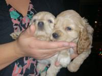 I have 2 beautiful Cocker Spaniel Female puppies they