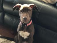 Coco is a 14 wk old spayed female Aussie/ Boxer and