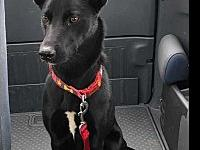 Coco's story Coco is a 1 year old German Shepherd /