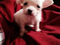hello, i have 1 chihuahua mix terrier he was born nov.