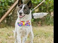 Coco's story Coco Pointer + Formosan Mountain Dog Mix |