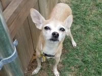 Cocoa is an 8 year old Chihuahua mix who weighs about