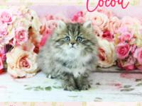 Beautiful Persian kittens for sale in Florida from a