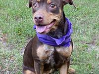 Cocoa's story Cocoa is manchester terrier/dachshund mix