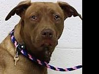 . Meet Cocoa! Cocoa is a female, 10 month old, Pit Bull