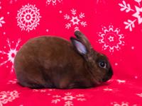 Cocoa Puff is an adorable and super soft Mini Rex.  He