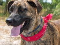 CODY  is a 3-4 year-old Catahoula and weighs about