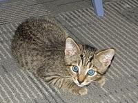 Cody (male kitten)'s story Cody is a very cute brown