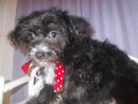 Cody is a beautiful black yorkipoo with a flash of
