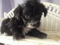 Cody is a gorgeous black yorkipoo with a flash of white