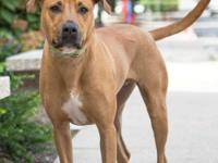 Cody is a handsome 3-year-old Rhodesian Ridgeback mix