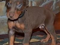 Cody is a red/rust Champion sired Doberman male , his