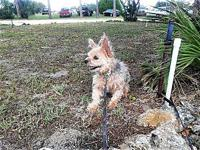 Colby's story Colby is a 10 year old Yorkie who was