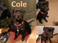 Cole's story Lab Mix. Slow intro to cats. ~very cuddly,