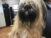 My story Colleen is a female, 21.5 lb, blonde Lhasa
