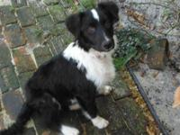Collie - Angel - Large - Young - Female - Dog Angel is