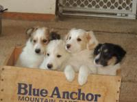 TAKING DEPOSITS on 4 Collie/Aussie young puppies at 6