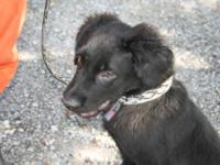 Collie - Cain - Medium - Young - Male - Dog Cain is a