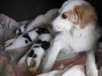 Collie - Celeste - Medium - Adult - Female - Dog My