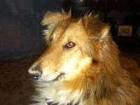 Collie - Chessie - Large - Young - Female - Dog Chessie