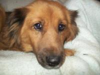 Collie - Honey - Large - Adult - Female - Dog Honey is